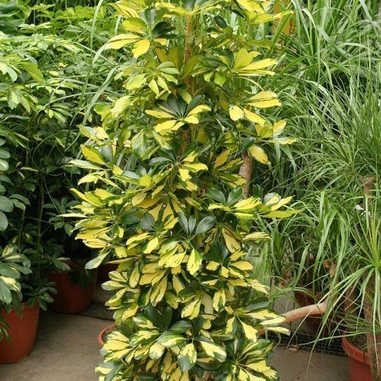 Arbre ombrelle ou arbre parapluie (Schefflera actinophylla) 'Dalton'