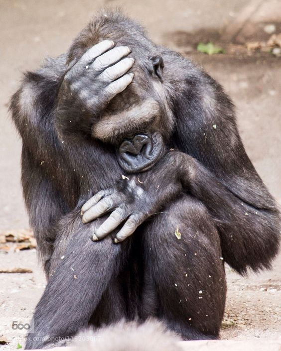 Sad.... - Pinned by Mak Khalaf Animals AnimalGorillaZoo by V-Strom-2