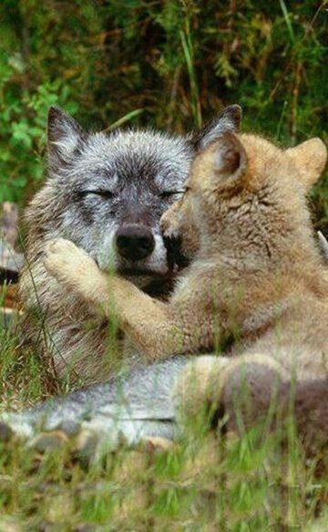 "livingpursuit: "" Cubs Playing on the Log by Tambako the Jaguar """