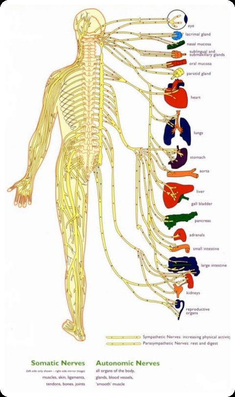 Central Nervous System Diagram For Kids | Artes ...