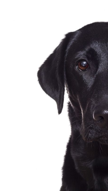 Animals Wallpapers Iphone Animals Wallpaper Iphone Black Lab Puppies Lab Puppies Dogs And Puppies