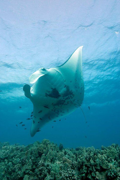 Studying the travel patterns of animals such as manta rays, sharks, and other species needing protection is a primary way to figure out just what spots need focus