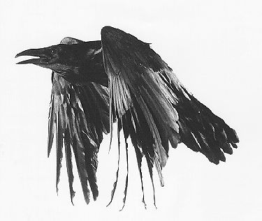 The Raven: They display ability in problem solving, as well as other cognitive processes such as imitation and insight, are among the most playful of bird species. The Raven has been the subject of mythology, folklore, art, and literature, and In many indigenous cultures, the Common Raven has been revered as a spiritual figure or god.