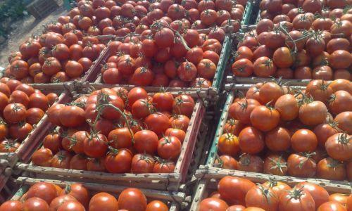 الخبر غير متاح Vegetables Tomato Egypt