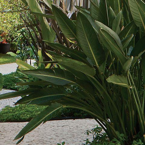 A estrelítzia (Strelitzia reginae), alocada no mesmo canteiro do pandano (Pandanus utilis), gosta de sol pleno e meia-sombra. Apresenta folhas rijas e ornamentais. Regas uma vez por semana.