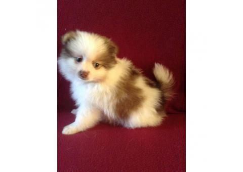 4 left Purebred Pomeranian puppies
