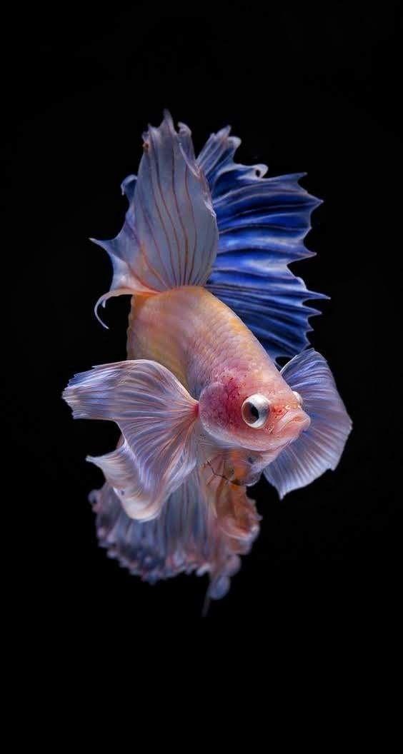 The Best Way To Breed Million Guppy Fish In Your Aquarium Guppy Fish Fish Tank Guppy
