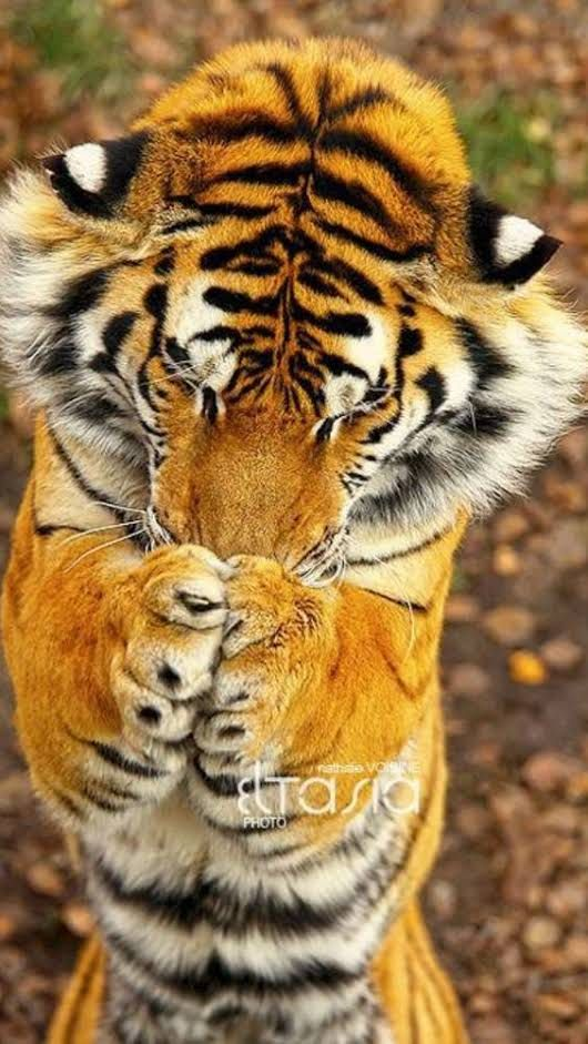 ... Thank you God .... | tiger | big cat