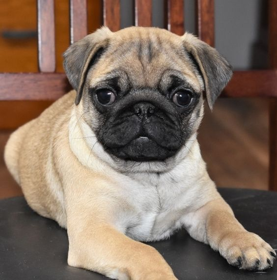 Bambie Pug Puppy 582690 Puppyspot Pug Puppies For Sale