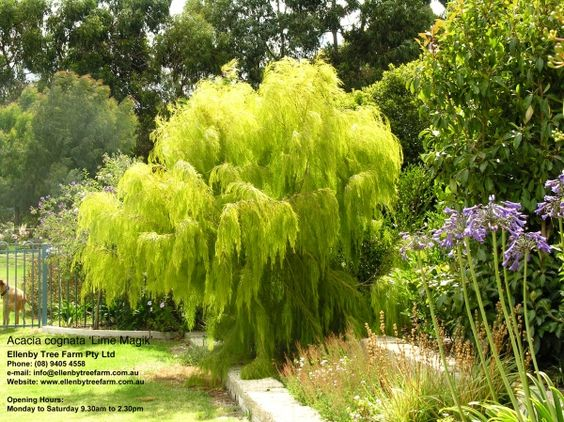 Acacia cognata 39 lime magik 39 i love this so pretty - What is lime used for in gardening ...