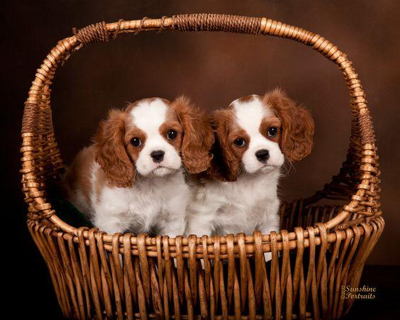 San Diego Cavalier King Charles Spaniels Puppies In Vista Ca For King Charles Cavalier Spaniel Puppy Cavalier King Charles Spaniel Charles Spaniel
