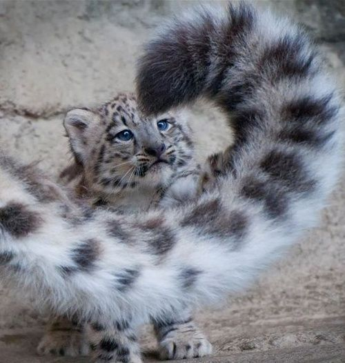 Baby snow leopard contemplating mischief with mom's tail.