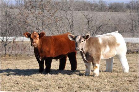 Vacas Fluffy, las raza de vaca que parecen de peluche...