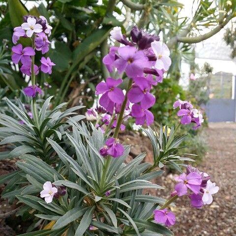 Alhelí de cumbre (Erysimum bicolor) #FloraCanaria #FloraSilvestre #GranCanaria by Michel Eamon 2015