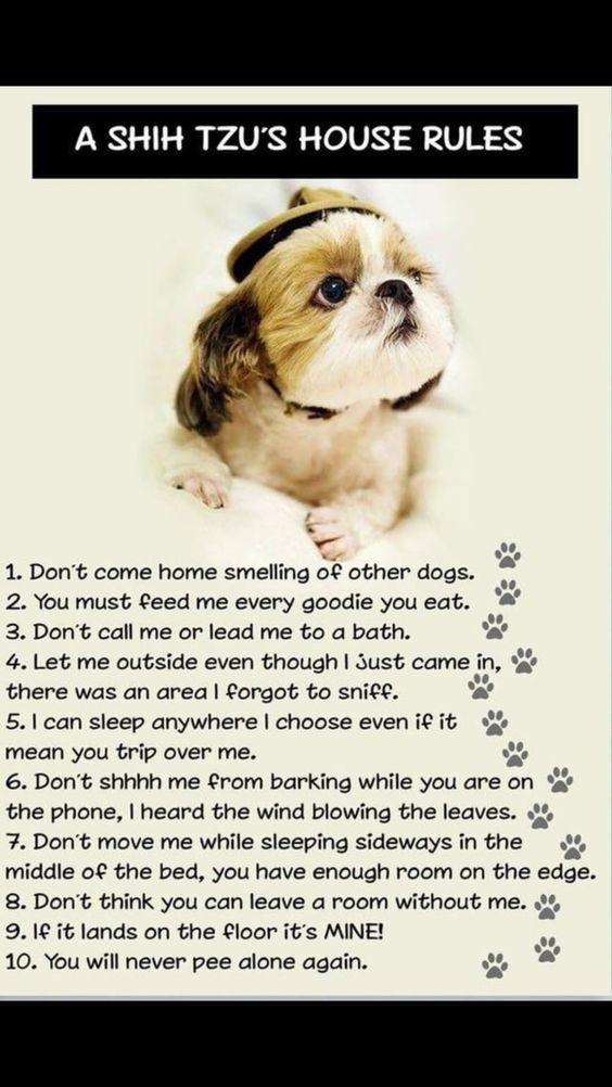Pin By Sharon Pacheco On Humor Shitzu Dogs Shih Tzu Dog Shih Tzu Puppy