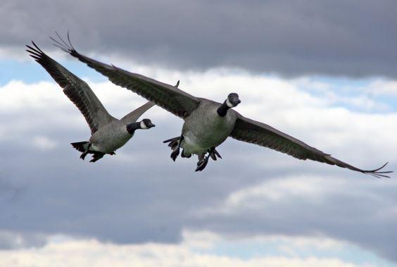 Branta_canadensis_in_flight,_Great_Meadows_National_Wildlife_Refuge.jpg (3294×2217)
