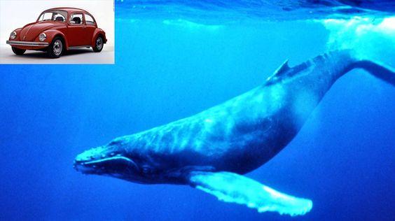 El corazón de una ballena azul es del tamaño de un Beetle Volkswagen.