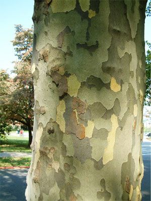 Sycamore (Platanus occidentalis), a fast growing tree with decorative bark