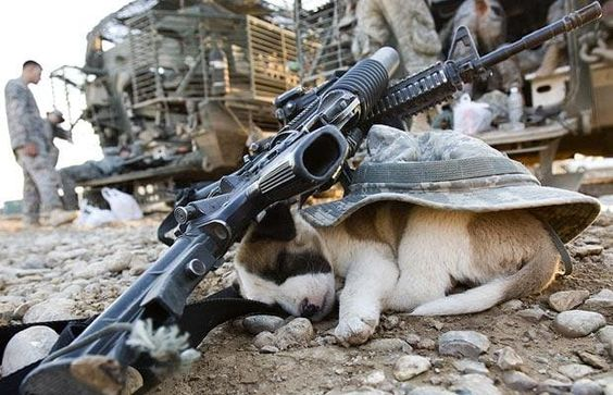 ...and the winner is this puppy fast asleep under a US soldier's hat and rifles in Baquba, Iraq