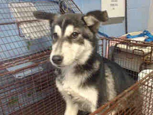 Pictures Of Urgent On 12 6 San Bernardino A Siberian Husky For