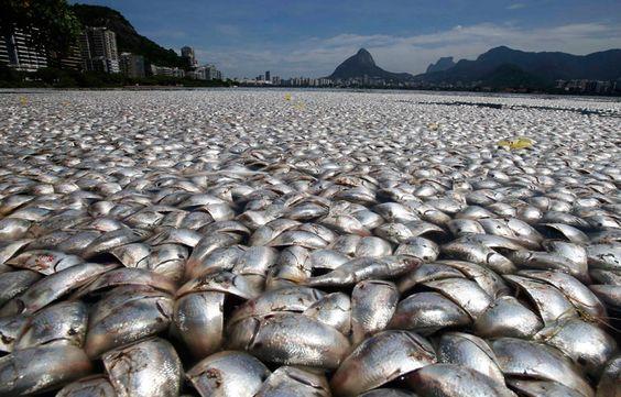 Donnerstag, 14. März 2013 Massensterben, Rio de Janeiro, Brasilien: Tausende von toten Fischen treiben am Ufer der Rodrigo de Freitas Lagune. Bisher wurden zwölf Tonnen Tierkadaver aus dem Wasser gezogen. Für das Massensterben könnte Düngemittel verantwortlich sein, die in hoher Dosierung ins Meer gelangten. Dadurch sank der Sauerstoffgehalt im Wasser unter eine für Fische lebensnotwendige Grenze. Im Jahr 2016 sollen dort die Ruderwettbewerbe der Olympischen Spiele stattfinden.