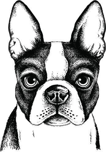 Boston Terrier Face Clipart vectoriel 186410618   Thinkstock