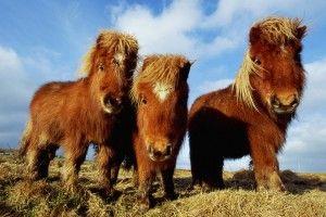Shetland Ponies, Sheland Islands: Scotland.