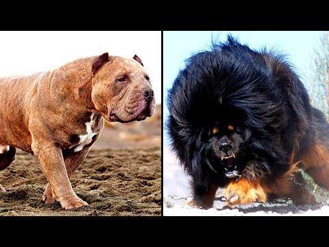 Dog Breeds Dangerous Dogs