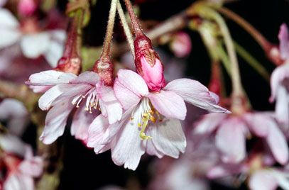 Prunus subhirtella 39 autumnalis rosea 39 agm rhs for Small garden trees rhs