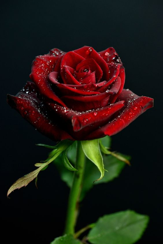 17 beautiful red rose - photo #2