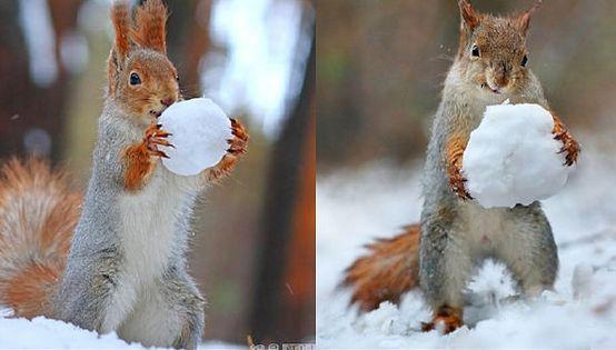 沃羅涅什地區的森林裡一隻小松鼠花了三個小時使用一根微小的胡蘿蔔和三個圓形的雪球堆好了一個雪人。