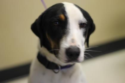 Petango.com – Meet Elyna, a Pointer / Border Collie available for adoption in LONGVIEW, TX