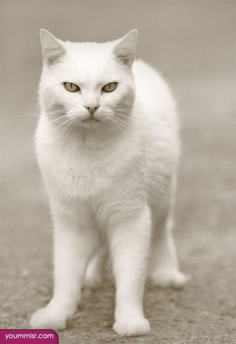 صور قطط باقة مختارة من أروع و أجمل القطط مع خلفيات Hd Gatos Gatos Brancos Felinos
