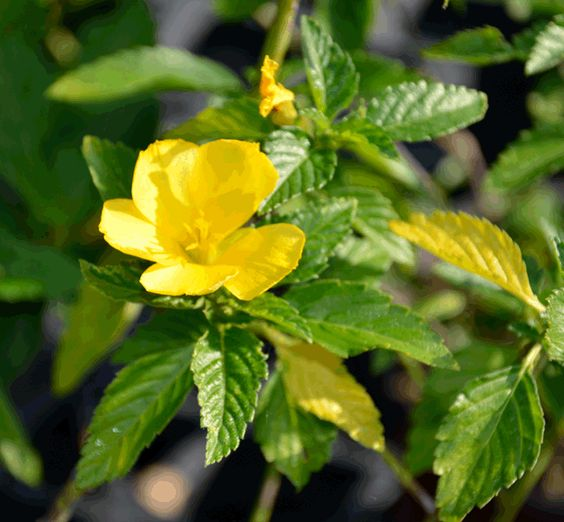 florida native plants  blooming shade plant  i have this and it so lovely  they multiply quickly