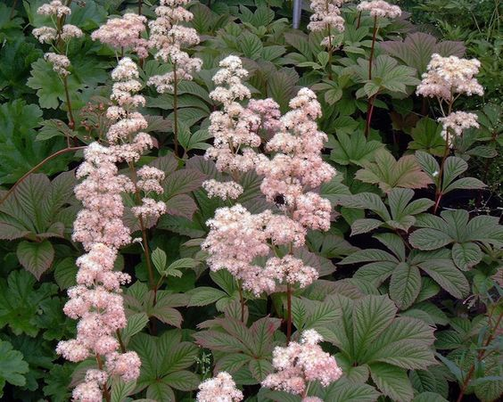Rodgersia pinnata 'Chocolate Wings' - p9