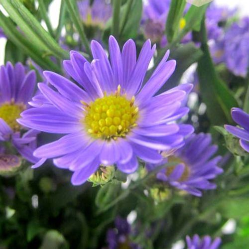 Aster Monte Casino White Purple Aster Aster Flower Purple Flowers Rose Floral Crowns