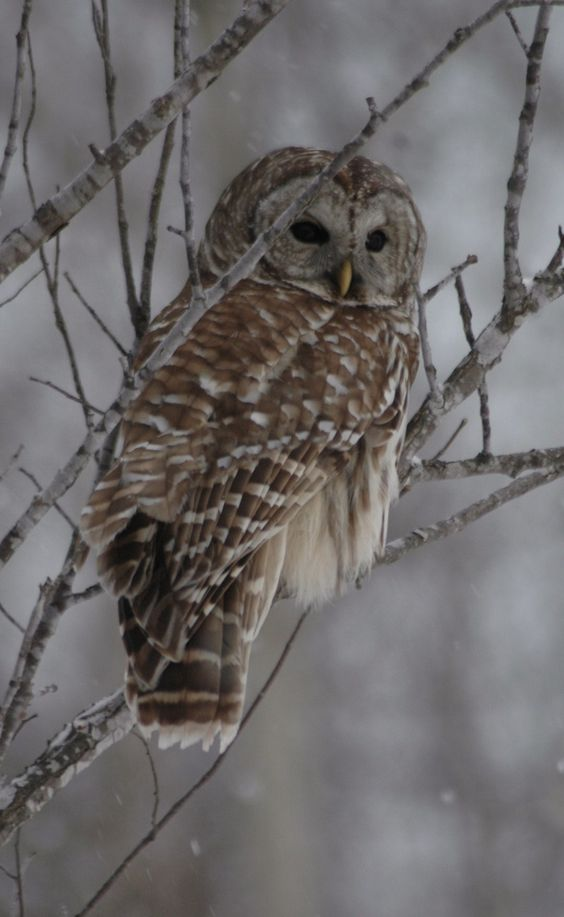Owl, Rye, NH