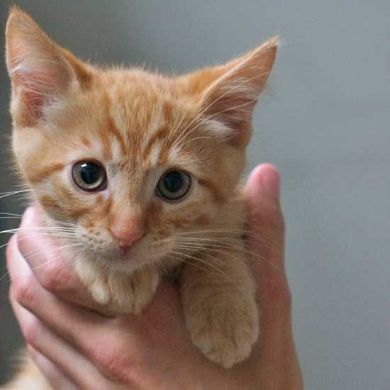 Adopt West Tabby Kitten Orange Kitten Adoption Tabby Kitten
