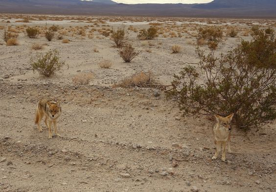 Coyotes in Death Valley National Park, 1/25/13