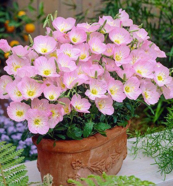 Rozowy Dlugo Kwitnacy Wiesiolek Okazaly Niezawodny 7148670733 Allegro Pl Wiecej Niz Aukcje Evening Primrose Flower Evening Primrose Pink Perennials