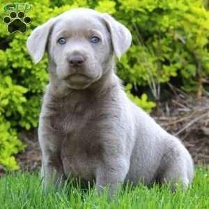 Silver Labrador Retriever Puppy In Quarryville Pa Labradorretriever Labrador Retriever Labrador Retriever Puppies Labrador Dog