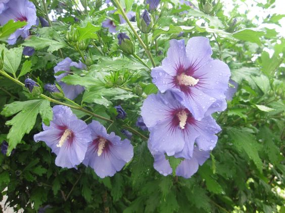 Blue Rose of Sharon Hibiscus syriacus - 15 Seeds: