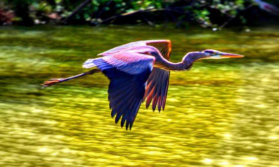 Blue Heron on Lake Oconne - Blue Heron on Lake Oconne, GA by Temba