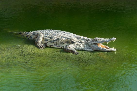 Florida:Alligator