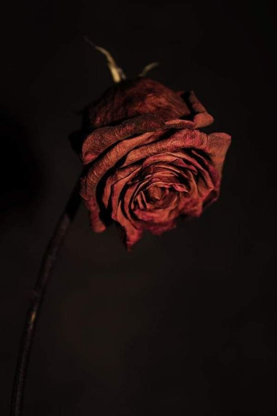 A Story of love and eternity of separation. Photography. Red withered rose.