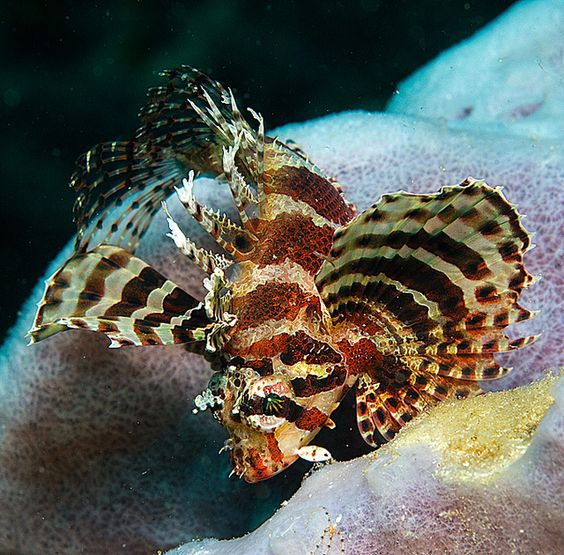 Juvenile Dwarf Lionfish - Bawley Point by Rowland Cain, via Flickr