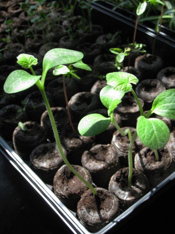Hollyhock Seedling