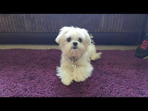 Tigerlilly Maltese Puppy 3 Weeks Residential Dog Training