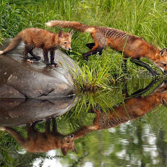 Red Fox Reflections
