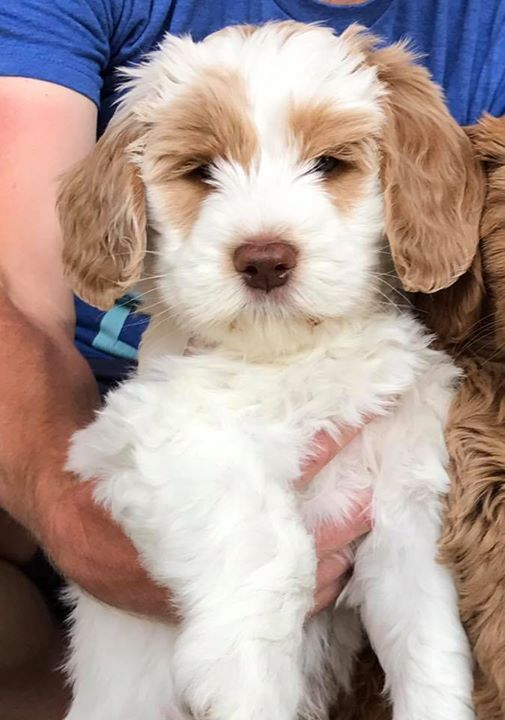 Daisy Hill Australian Labradoodles We Specialize In Allergy Friendly Non Shedding Labradoodl Australian Labradoodle Puppies Labradoodle Puppy Puppies Near Me
